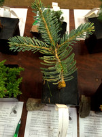 American Conifer Society Conference 2015